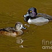 Ring-necked Duck Pair Poster