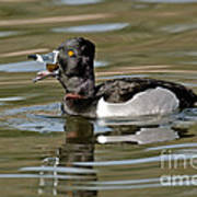 Ring-necked Duck Swallowing Snail Poster