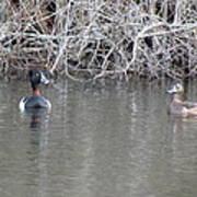 Ring Necked Ducks Poster