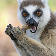 Ring-tailed Lemur Cracking Seed Pod Poster