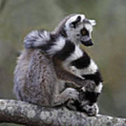 Ring-tailed Lemur Lemur Catta  Poster