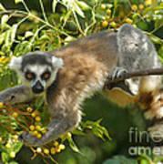 ring-tailed lemur Madagascar 1 Poster