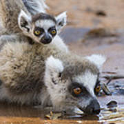 Ring-tailed Lemur Mother Drinking Poster