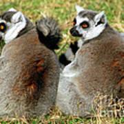 Ring-tailed Lemurs Lemur Catta Poster