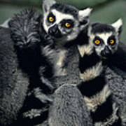 Ringtailed Lemurs Portrait Endangered Wildlife Poster