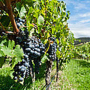 Ripe Grapes Right Before Harvest In The Summer Sun Poster
