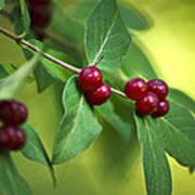 Red Berries Botanical Christmas Art Poster