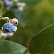 Ripening Blueberries Poster