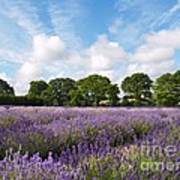 Ripening English Lavender In Hampshire Poster