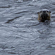 River Otter   #0695 Poster