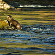 River Otter On A Rock Poster