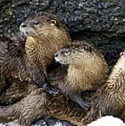 River Otter Trio   #0922 Poster