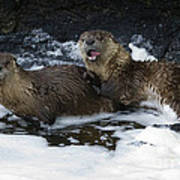 River Otters   #1030 Poster