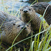 River Otters Poster