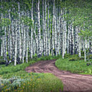 Road Through A Birch Tree Grove Poster