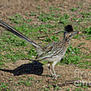 Roadrunner Male With Food Poster