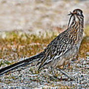 Roadrunner With Lizard Poster
