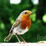 Robin Bird Photograph Poster