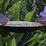 Robins In Bird Bath Poster