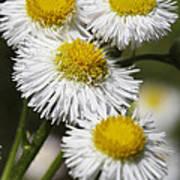 Robin's Plantain Wildflowers - Erigeron Pulchellus Poster