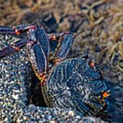 Rock Crab At He'eia Kea Pier Poster