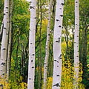Rocky Mountain Aspen Forest Poster