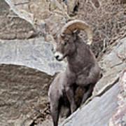 Rocky Mountain Big Horn Sheep Ram Poster