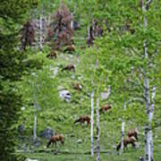 Rocky Mountain Elk Herd Poster