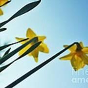 Rodchenko's Daffodils Poster