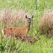 Roe Deer Capreolus Capreolus With Two Fawns Poster