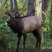 Roosevelt Elk Bugling Poster