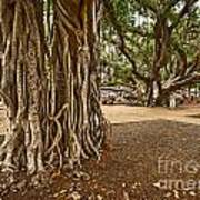 Roots - Banyan Tree Park In Maui Poster