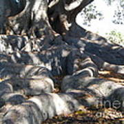 Roots Of Large Fig Tree Poster