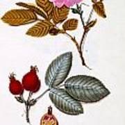 Rosa Villosa Poster
