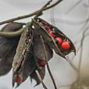 Rosary Pea Poster
