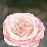 Rose 195 Poster by Pamela Cooper