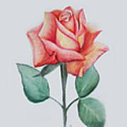 Rose 4 Poster by Nancy Edwards