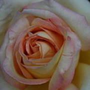 Rose 5 Poster