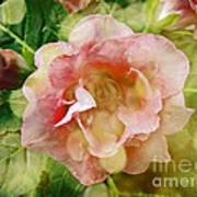 Rose Begonia In Pink Poster