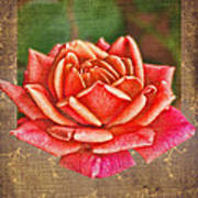 Rose Blank Greeting Card Poster