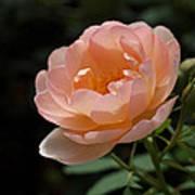 Rose Blush Poster