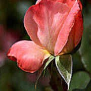 Rose Bud In Rose Poster