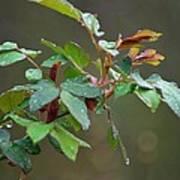 Rose Bush Rain Poster