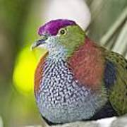 Rose-crowned Fruit Dove Poster