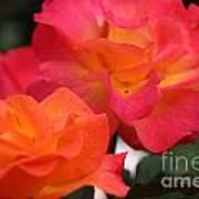 Rose Glow Poster