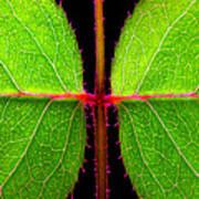 Rose Leaves Poster