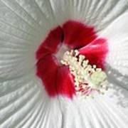 Rose Mallow - Honeymoon White With Eye 01 Poster