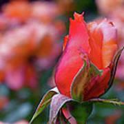 Rose On Rose Poster