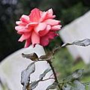 Rose On The Airborne War Cemetery Oosterbeek Netherlands Poster