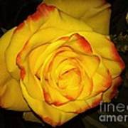 Rose Passion Yellow Impression Poster